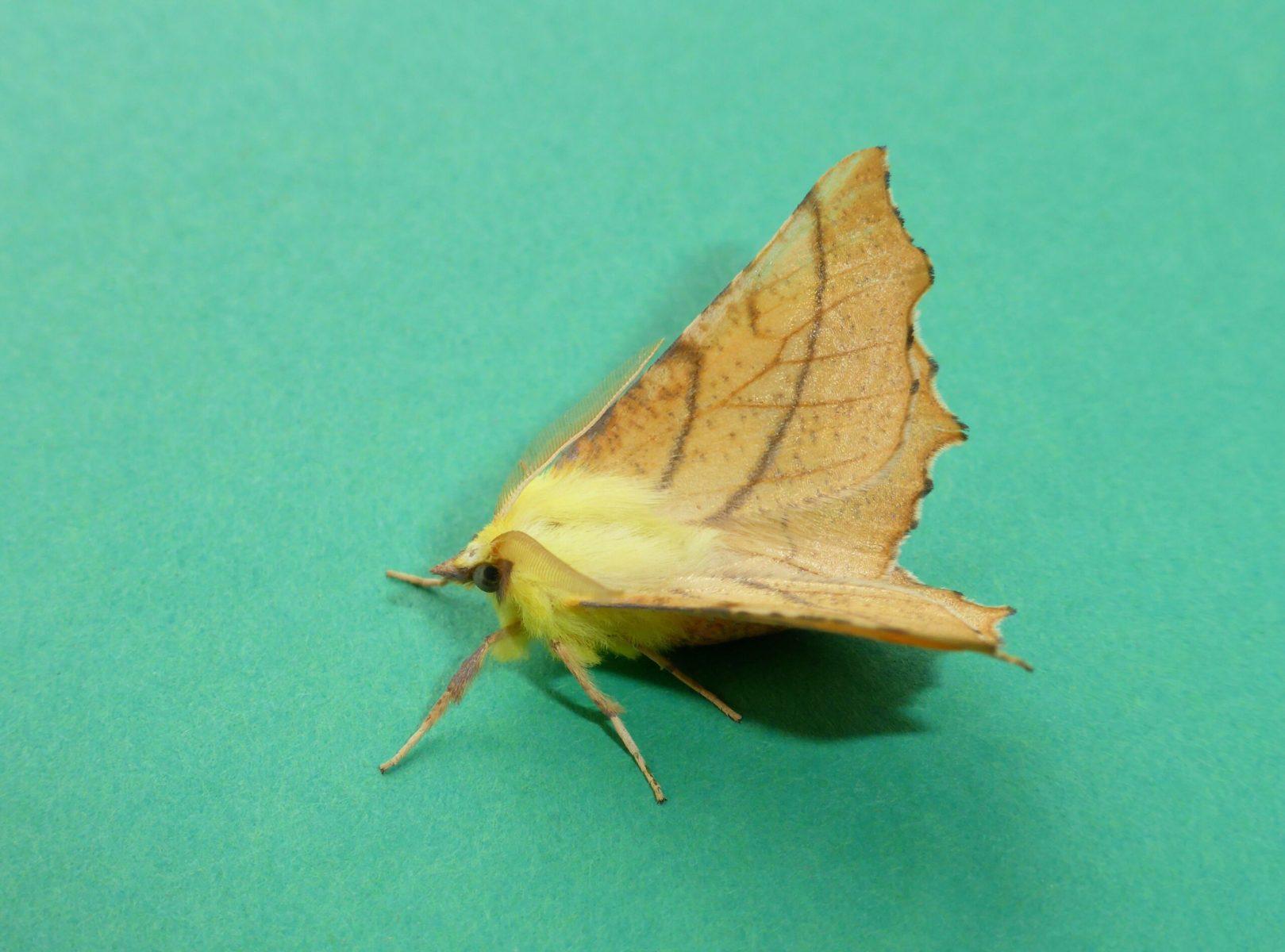 Ennomos ainiaria - Canary-shouldered Thorn - Kirk Smeaton