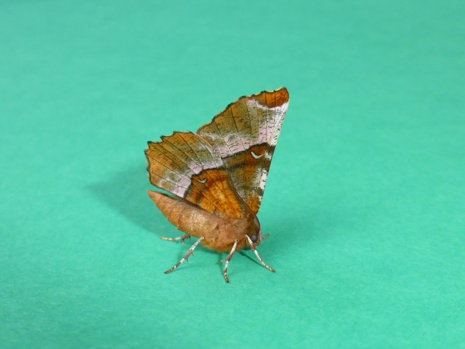 Selenia tetralunaria - Purple Thorn - Kirk Smeaton