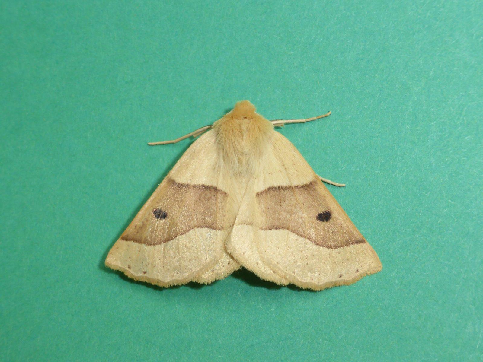 Crocallis elinguaria - Scalloped Oak - Kirk Smeaton
