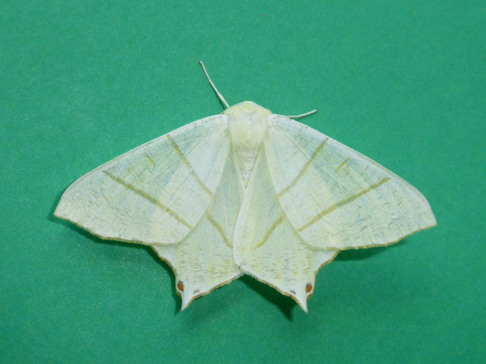 Ourapteryx sambucaria - Swallow-tailed Moth , Kirk Smeaton