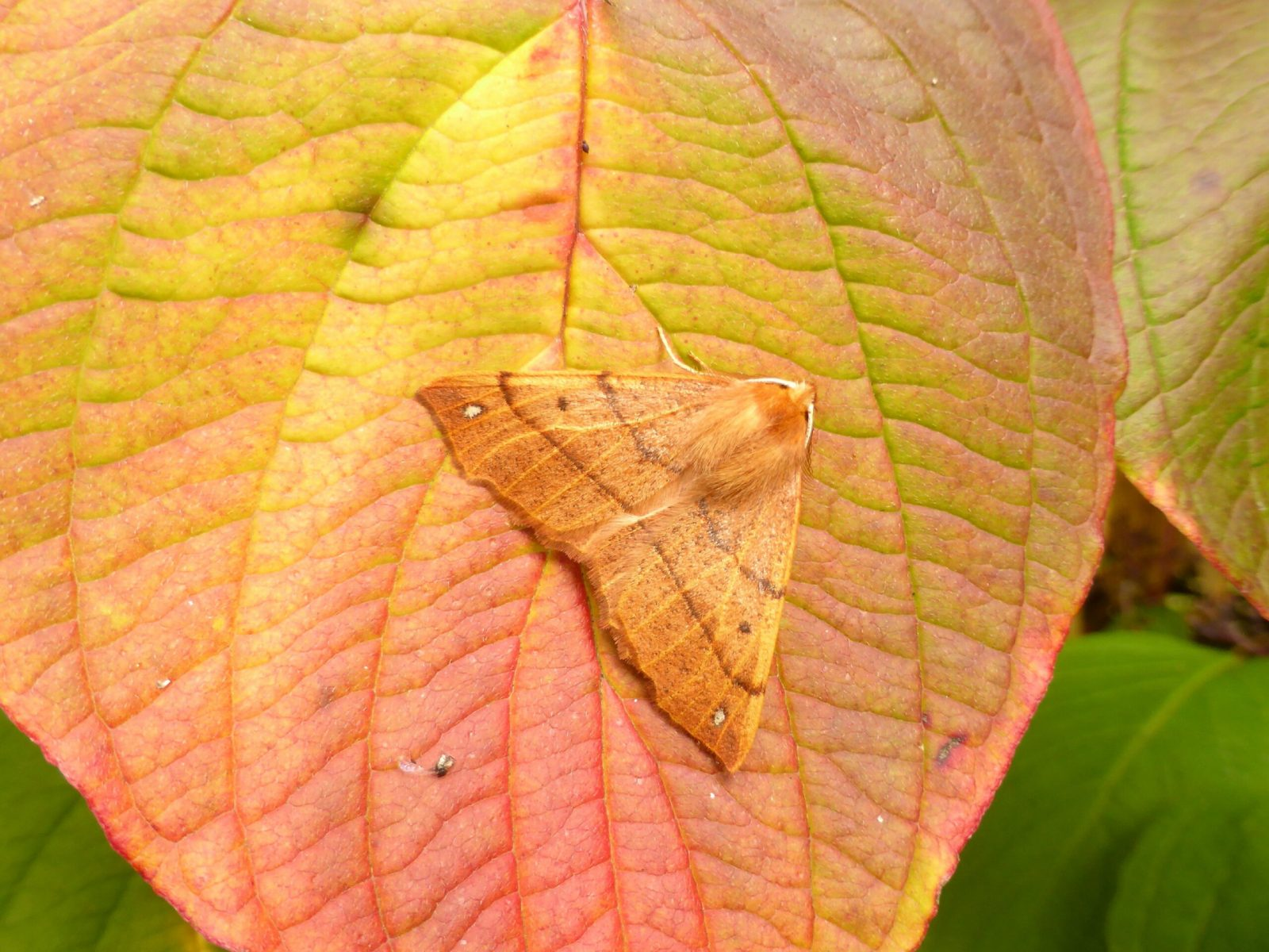 Colotois pennaria - Feathered Thorn (male) - Kirk Smeaton,