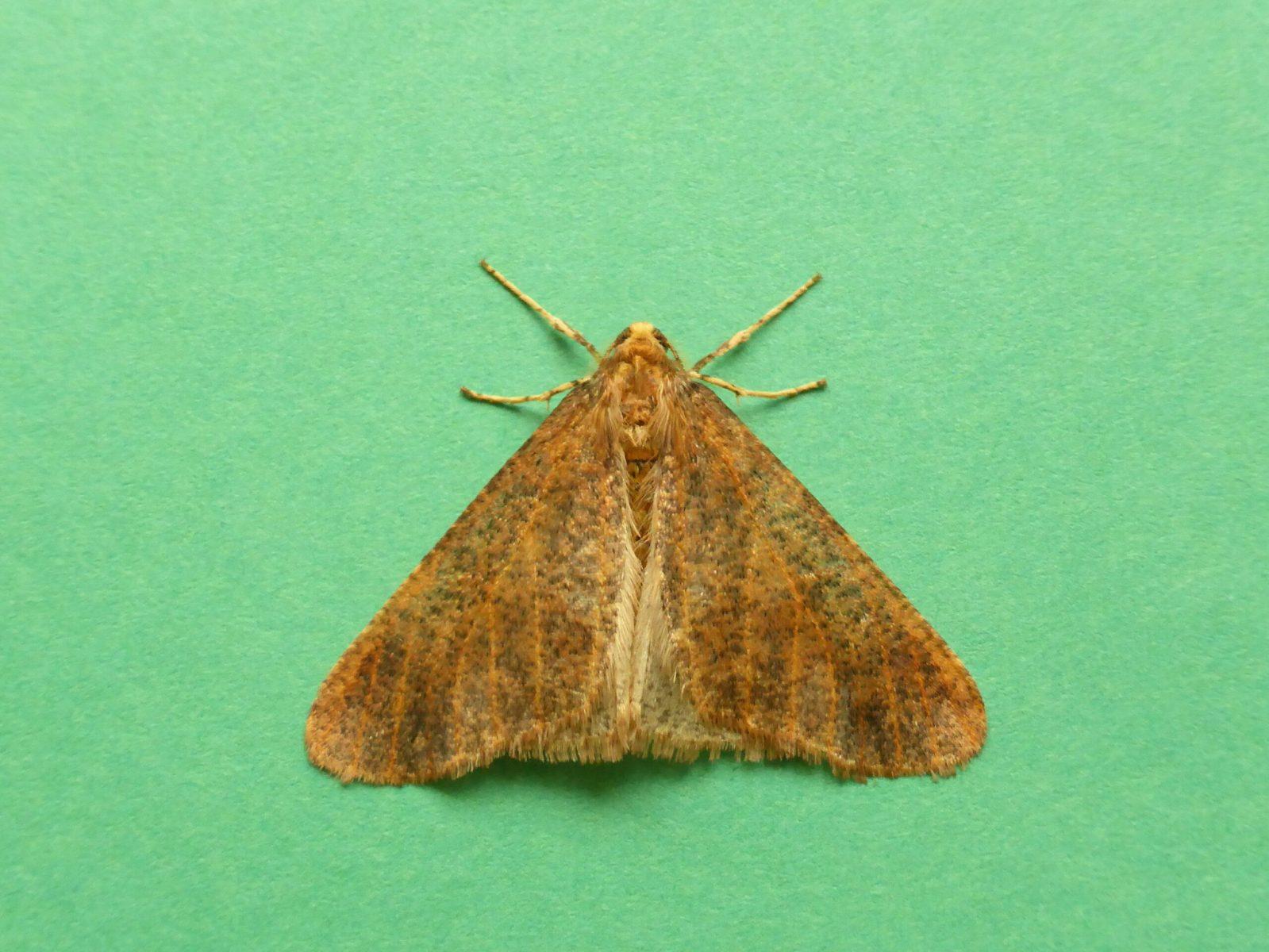 Erabbis defoliaria - Mottled Umber, Kirk Smeaton