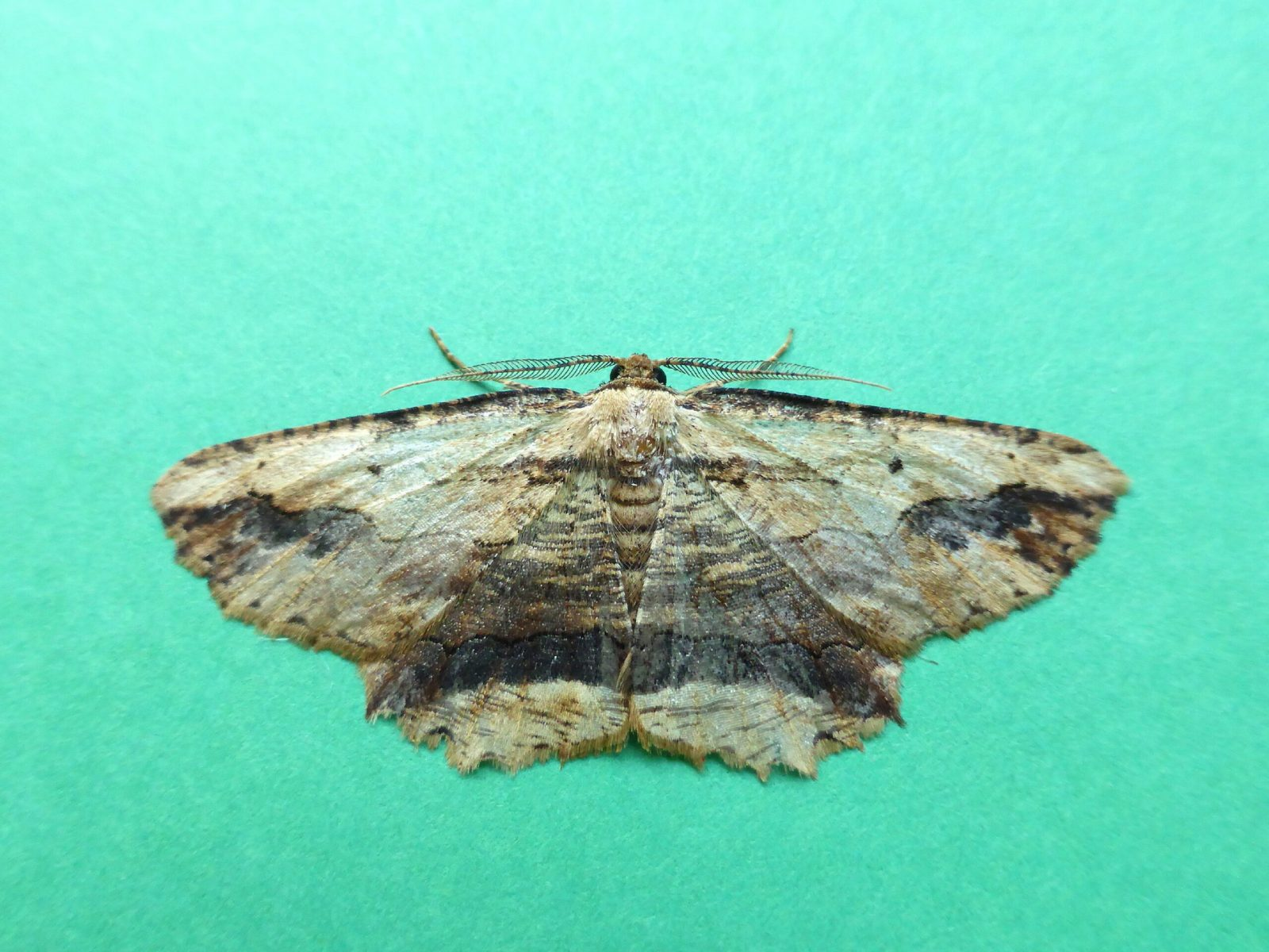 Menophra abruptaria - Waved Umber - Kirk Smeaton