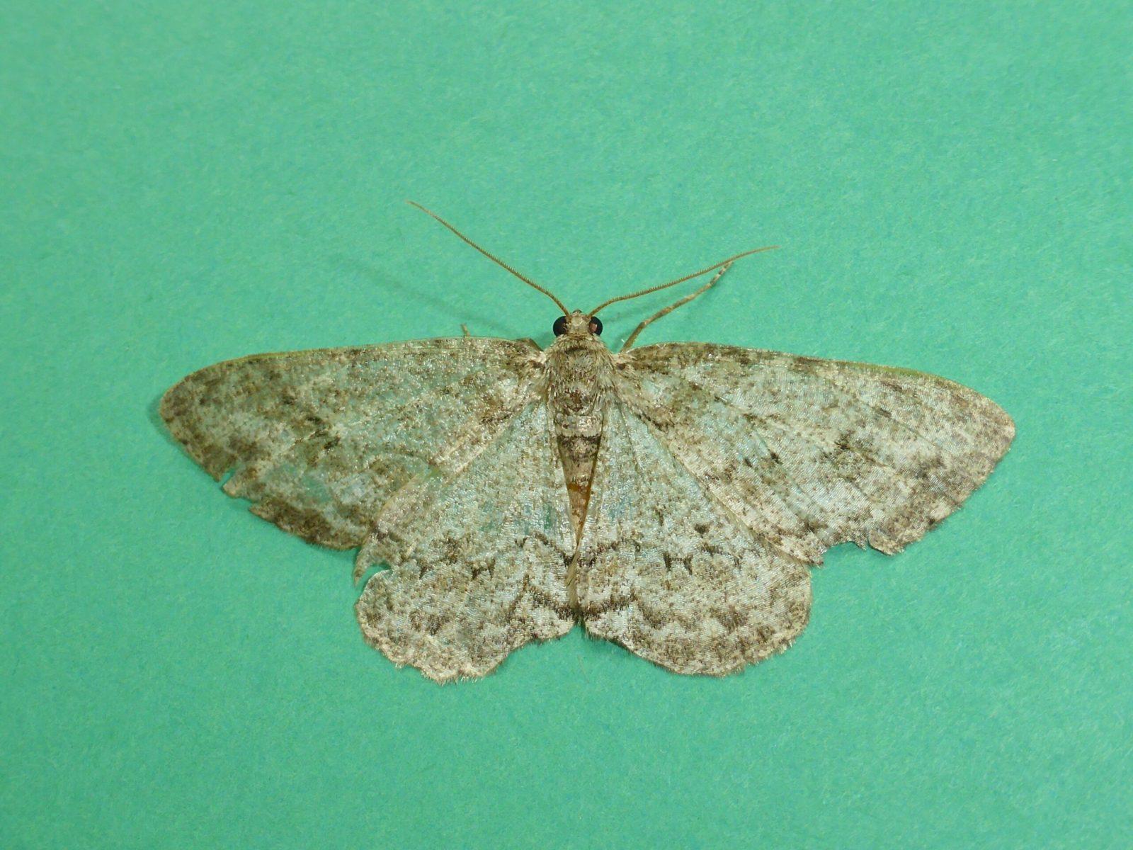 Ecttopis bistortata - Engrailed - Kirk Smeaton