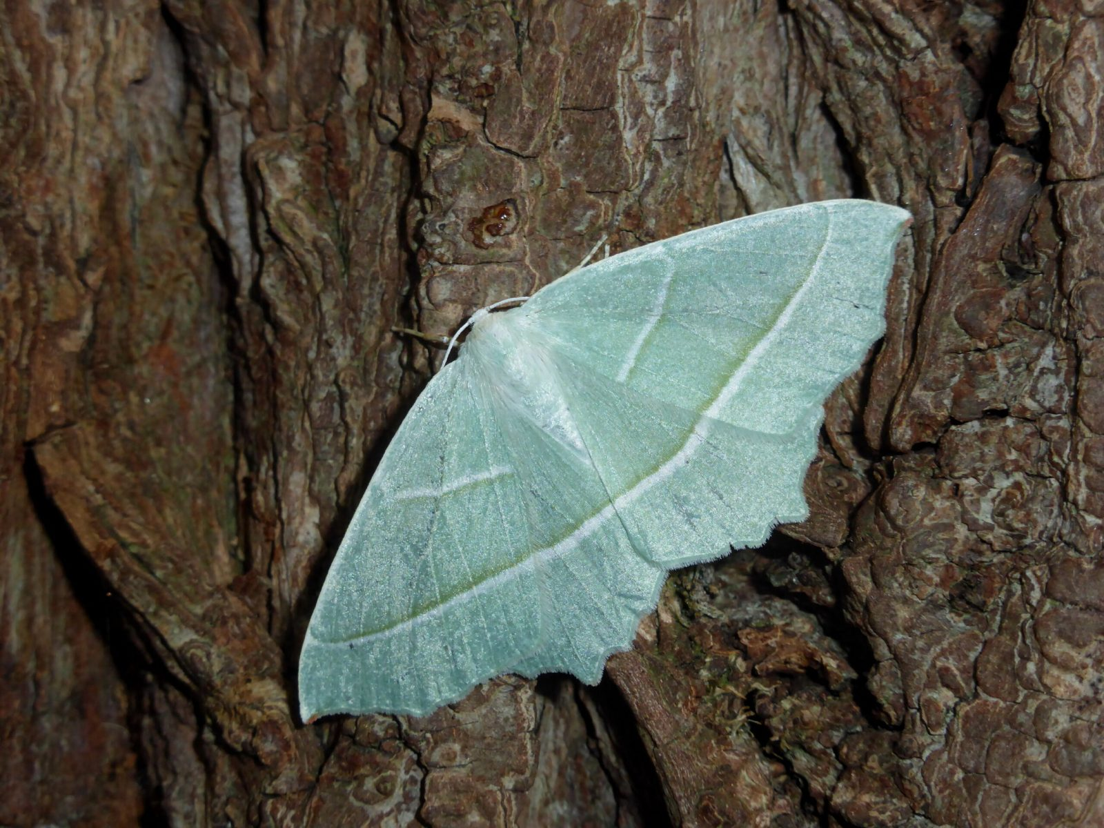 Campaea margaritata - Light Emerald - Kirk Smeaton