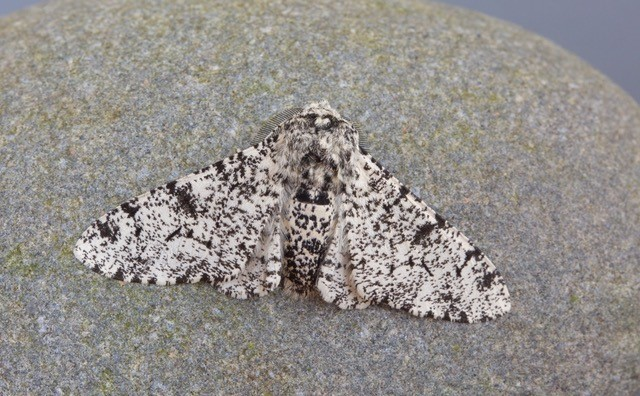 Biston betularia - Perrered Moth aberration, Woodside Nurseries, Austerfield
