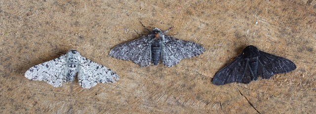 Biston betularia - Peppered Moth (three colour forms), Woodside Nurseries, Austerfield.