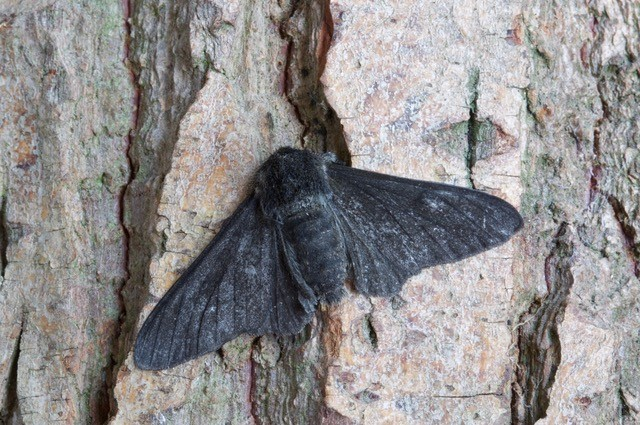 Biston betularia f.carbonaria - Peppered Moth, Woodside Nurseries, Austerfield.