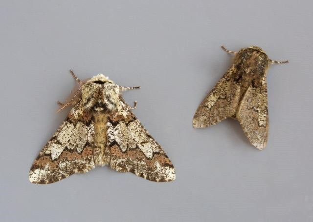 Biston strataria - Oak Beauty, (normal and aberration), Woodside Nurseries, Austerfield.