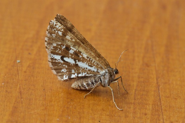 Bupalus piniaria - Bordered White, Woodside Nurseries, Austerfield.