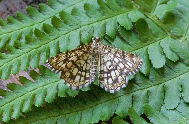 Chiasmia clathrata - Latticed Heath, Woodside Nurseries, Austerfield.