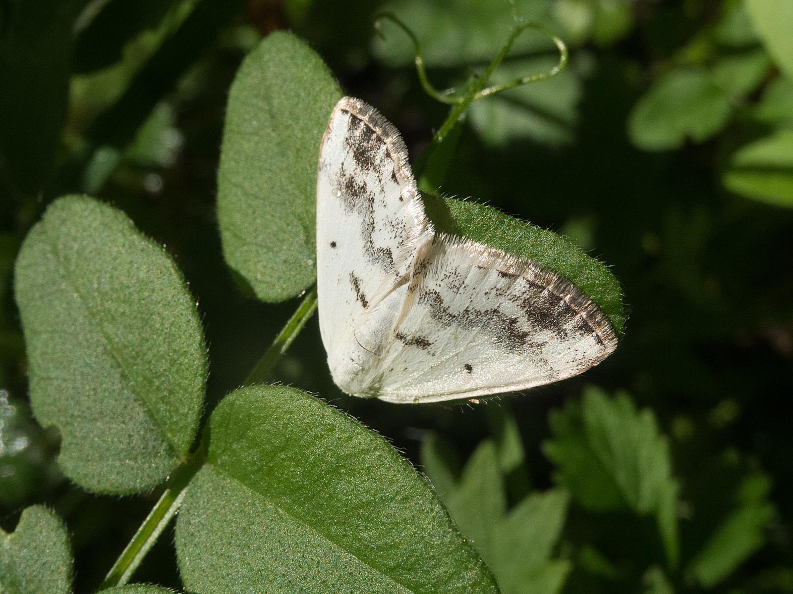 Lomographa temerata - Clouded Silver, Lindrick Common.