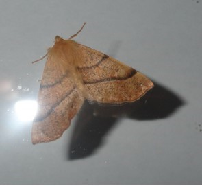 Colotis pennaria - Feathered Thorn, Cusworth Lane, Doncaster