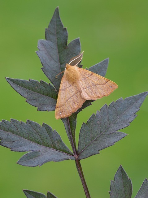 Colotois pennaria - Feathered Thorn, Woodside Nurseries, Austerfield.