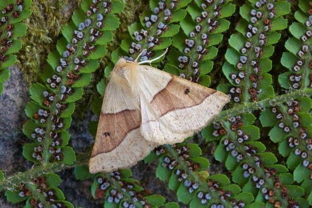 Crocallis elinguaria - Scalloped Oak, Woodside Nurseries, Austerfield.
