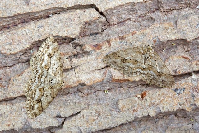 Ectropis crepuscularia - The Engrailed, Woodside Nurseries, Austerfield.