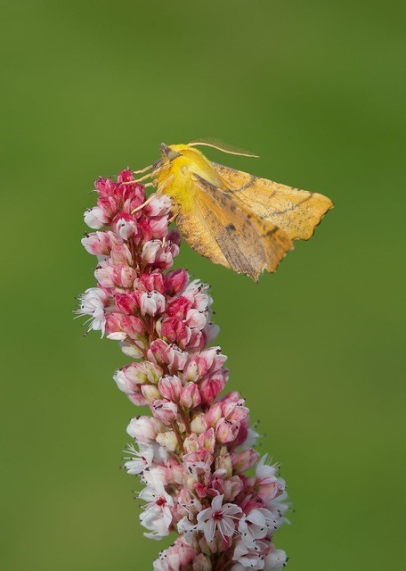Ennomos alniaria - Canary-shouldered Thorn, Woodside Nurseries, Austerfield.