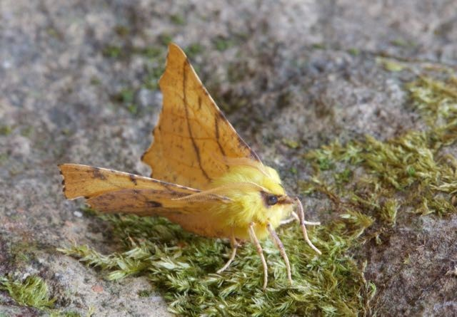 Ennomos alniaria - Canary-shouldered Thorn, Woodside Nurseries, Austerfield.