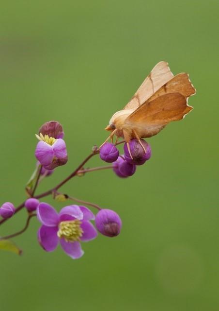 Ennomos erosaria - September Thorn, Woodside Nurseries, Austerfield.