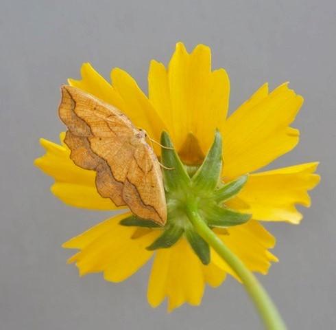 Epione repandaria - Bordered Beauty, Woodside Nurseries, Austerfield.