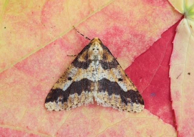 Erannis defoliaria - Mottled Umber, Woodside Nurseries, Austerfield.