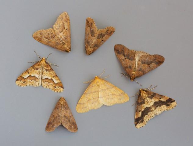 Erannis defoliaria - Mottled Umber and Agriopis aurantiaria - Scarce Umber comparison, Woodside Nurseries, Austerfield.