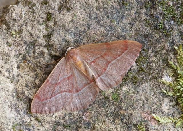 Hylaea fasciaria - Barred Red, Woodside Nurseries, Austerfield.
