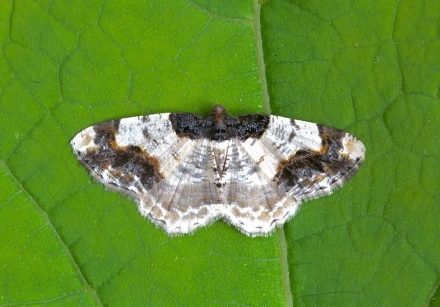 Ligdia adustata - Scorched Carpet, Woodside Nurseries, Austerfield.