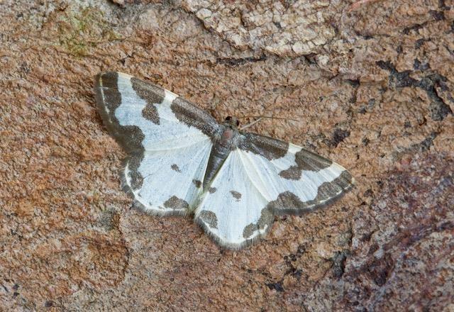 Lomaspilis marginata, - Clouded Border, Woodside Nurseries Austerfield.
