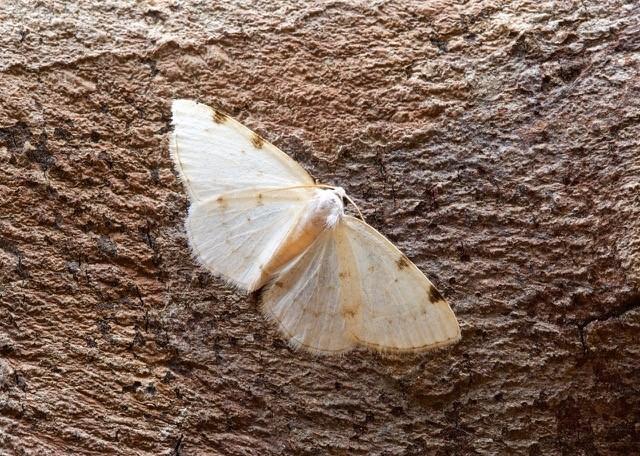 Lomographa bimaculata - White-pinion Spotted, Woodside Nurseries, Austerfield.