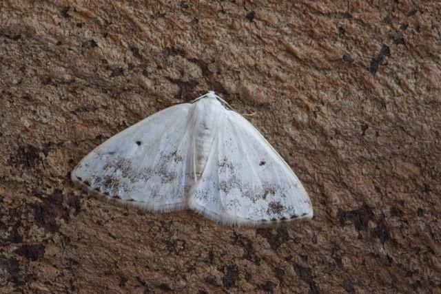 Lomographa temerata - Clouded Silver, Woodside Nurseries, Austerfield.