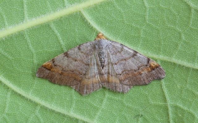 Macaria liturata - Tawny-barred Angle, Woodside Nurseries, Austerfield.
