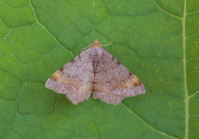Macaria liturata - Tawny-barred Angle, Woodside Nurseries, Austerfield.