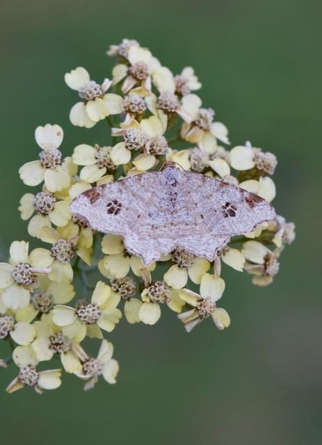 Macaria notata - Peacock Moth, Woodside Nurseries, Austerfield.
