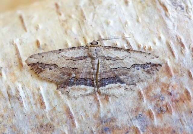 Menophra abruptaria - Waved Umber, Woodside Nurseries, Austerfield.