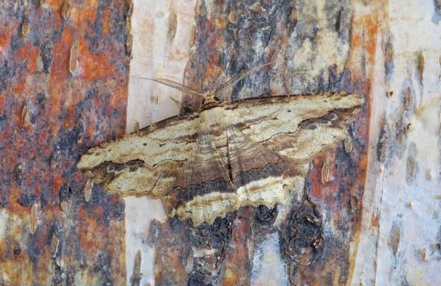 Menophra abruptaria - Waved Umber, Woodside Nurseries, Austerfield.