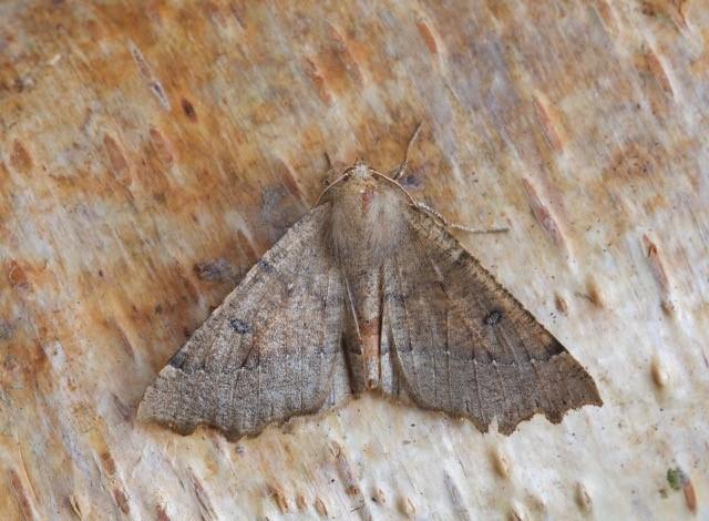 Odontopera bidentata - Scalloped Hazel, Woodside Nurseries, Austerfield.
