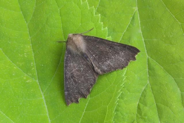 Odontopera bidentata f. Nigra - Scalloped Hazel, Woodside Nurseries, Austerfield.