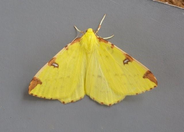 Opisthograptis luteolata - Brimstone Moth, Woodside Nurseries, Austerfield.