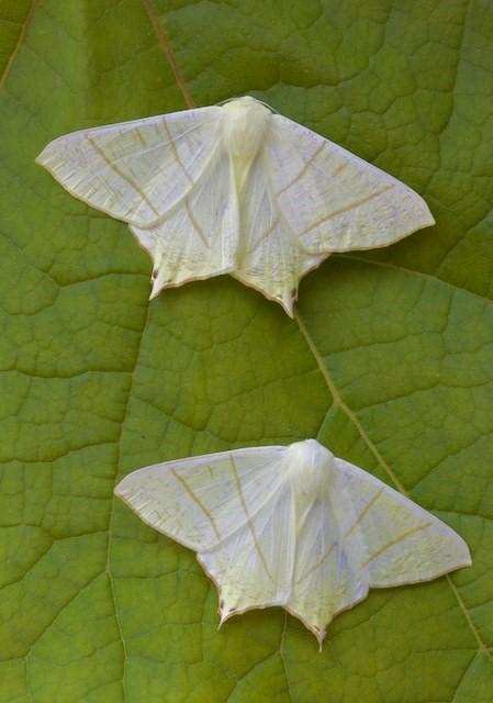 Ourapteryx sambucaria - Swallow-tailed Moth, Woodside Nurseries, Austerfield.