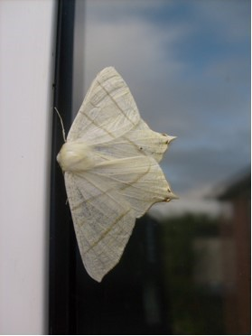 Ourpteryx sambucaria - Swallow-tailed Moth, Cusworth Lane, Doncaster