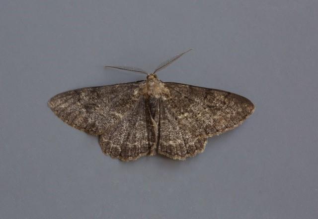 Peribatodes rhomboidaria - Willow Beauty (dark form), Woodside Nurseries, Austerfield.