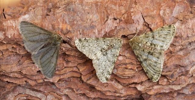 Phigalia pilosaria - Pale Brindled Beauty, (colour forms), Woodside Nurseries, Austerfield.