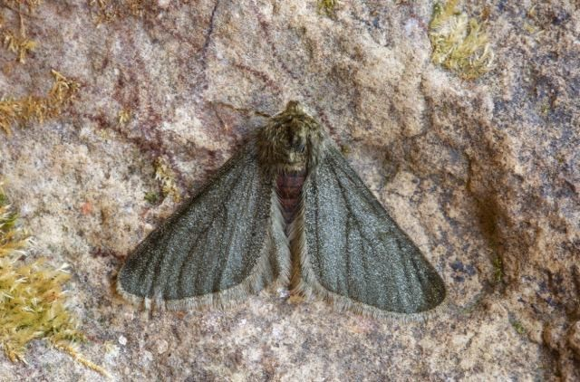 Phigalia pilosaria f.monacharia - Pale Brindled Beauty, Woodside Nurseries, Austerfield.