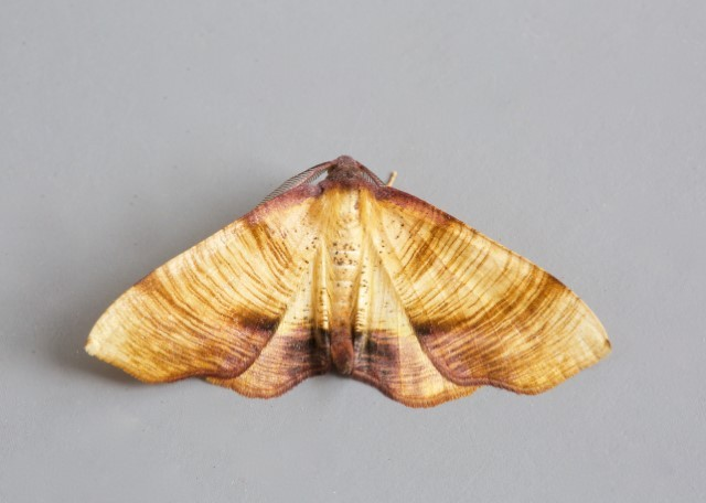 Plagodis dolabraria - Scorched Wing, Woodside Nurseries, Austerfield.