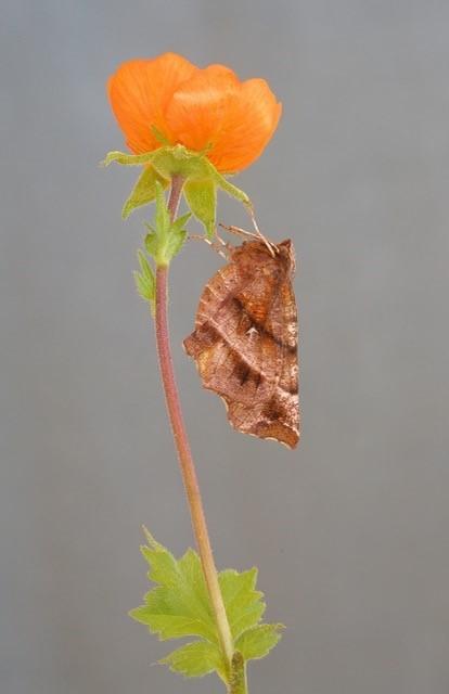 Selenia dentaria - Early Thorn, Woodside Nurseries, Austerfield.