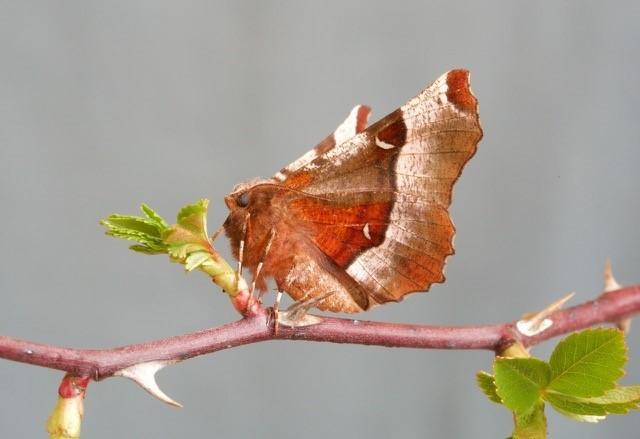 Selenia tetralunaria - Purple Thorn, Woodside Nurseries, Austerfield.