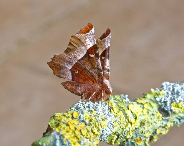 Selenia tetralunaria - Purple Thorn, Woodside Nurseries, Austerfield.