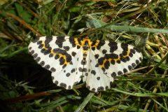 Abraxas grossulariata - Magpie Moth - Ash Hill Farm
