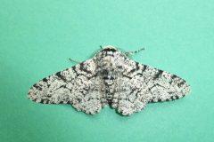 Biston betularia - Peppered Moth - Kirk Smeaton